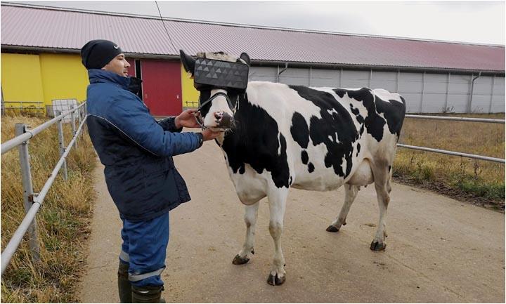 На подмосковной ферме тестировали VR очки для коров